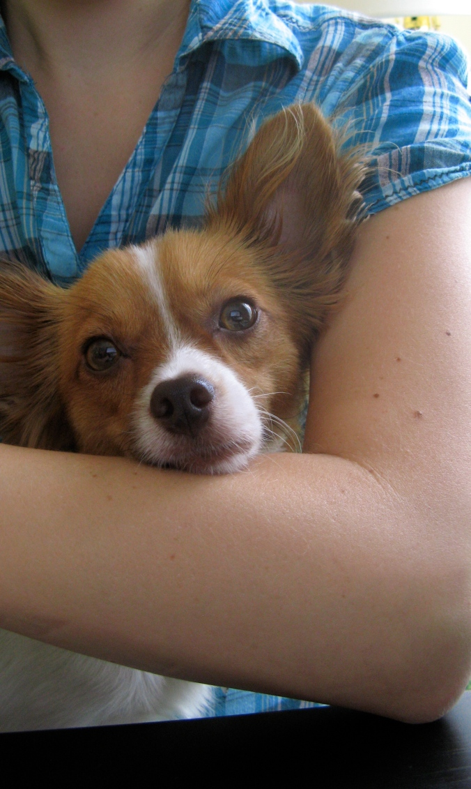 the August Break image of Emery, the seven-month old Papillon dog sitting on my lap
