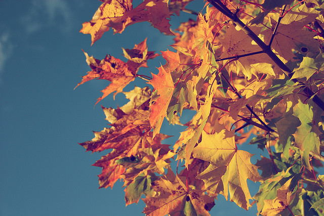 via terojee on flickr: autumn vintage foliage. maple tree in fall colors with blue sky.