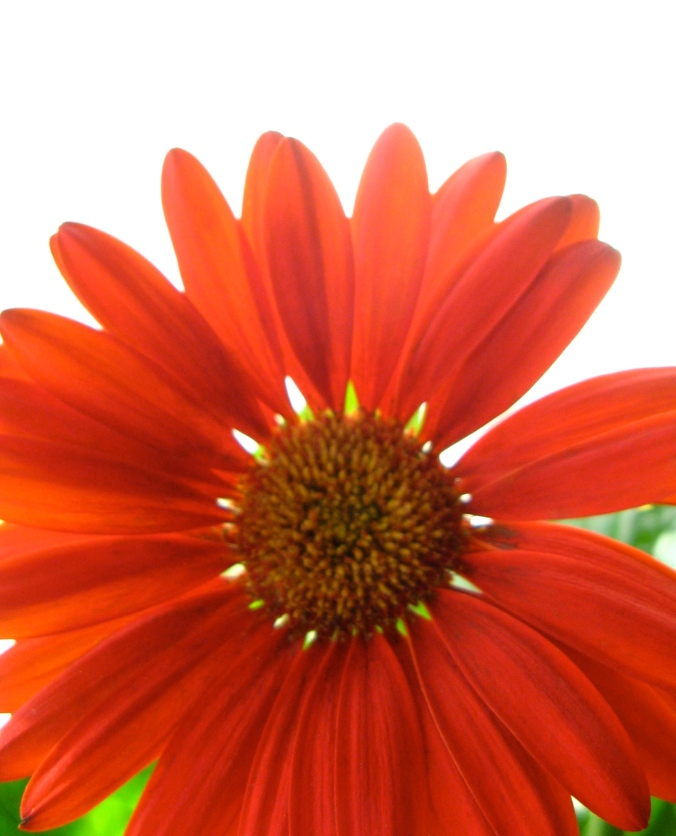 red gerbera daisy on a white and green background - photo by oaxacaborn gina munsey