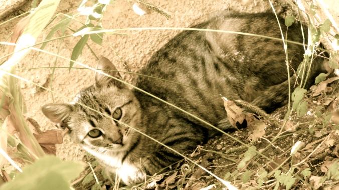 jolene the tabby cat