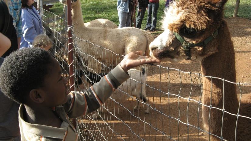 child feeding alpacas at apple hill in camino, california