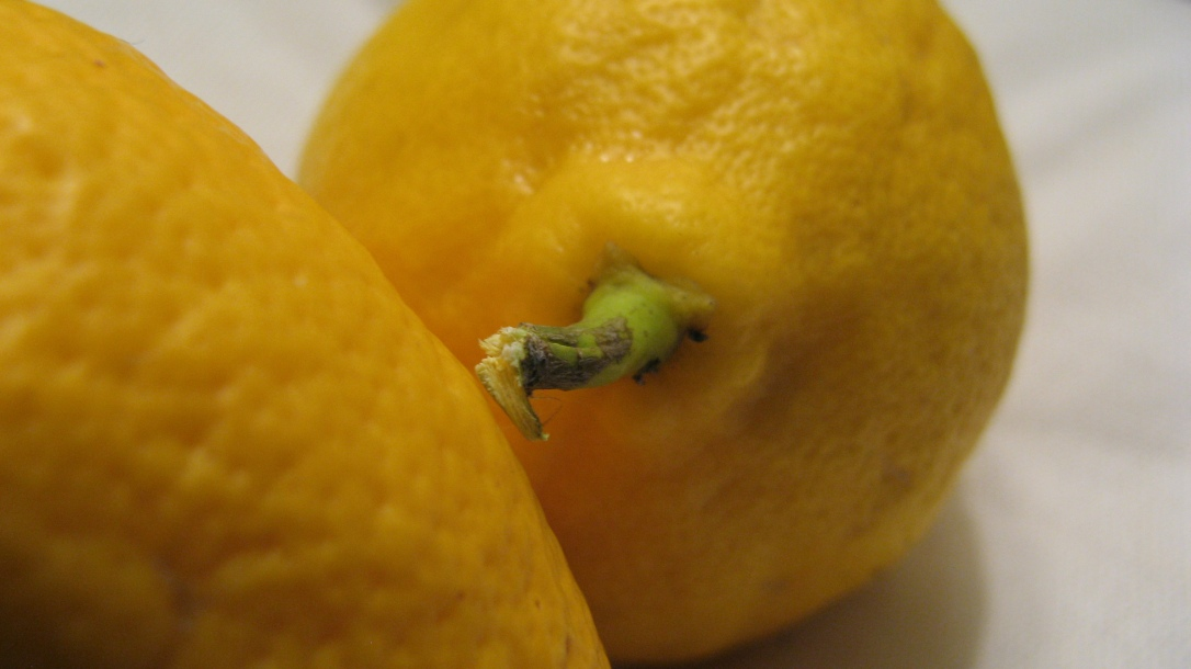 california citrus season - fresh lemon with stem attached, displayed on white fabric background