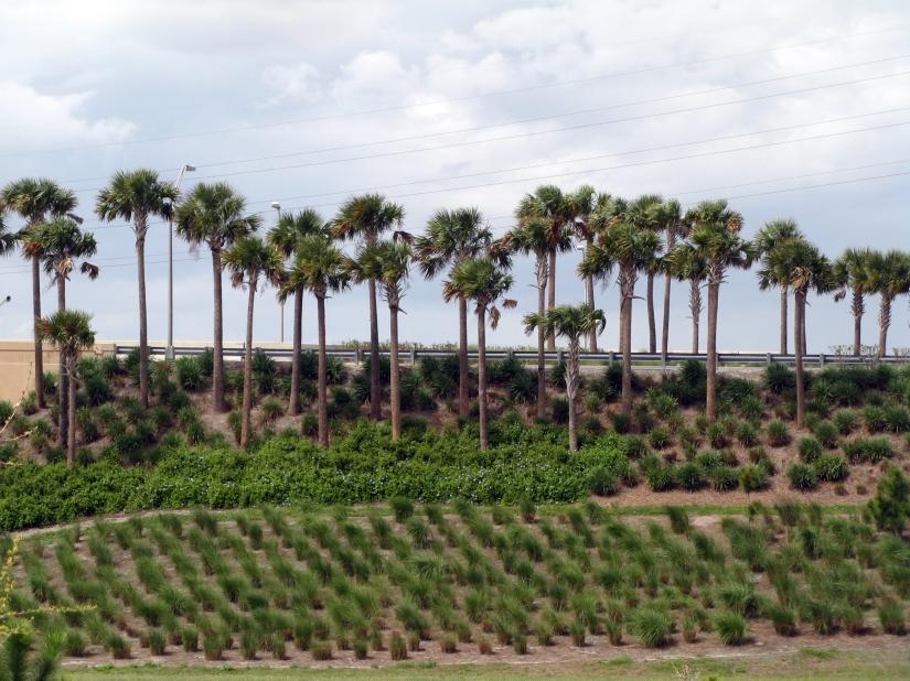 ridge of palm trees in Orlando