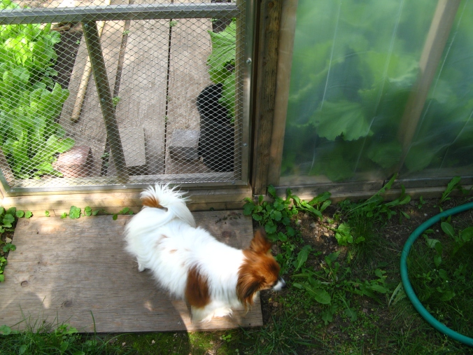 Sierra the Papillon at entrance to hothouse/greenhouse garden