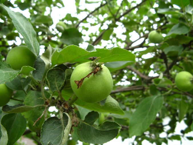 Young apple on an apple tree in Michigan