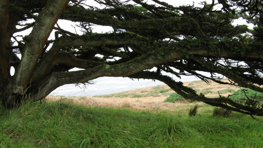 Natural Tree Arch near Point Reyes, Northern California