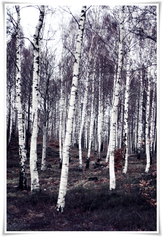 Birch Trees in winter via Scandinavian blog Helt Enkelt