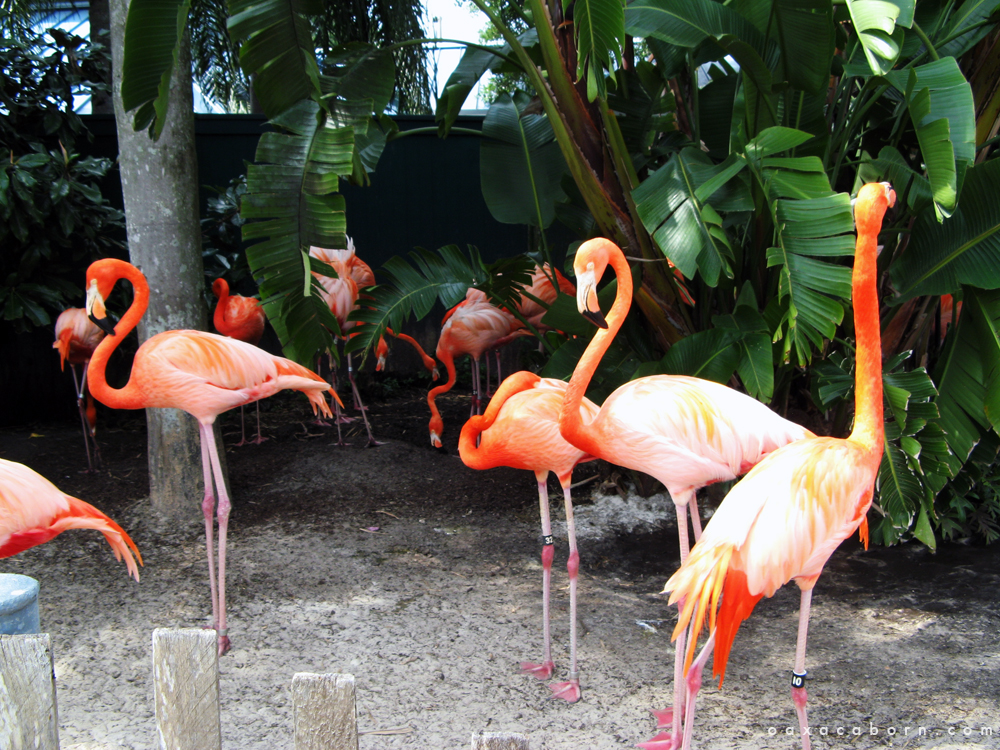 Group of Flamingos in Florida via Oaxacaborn