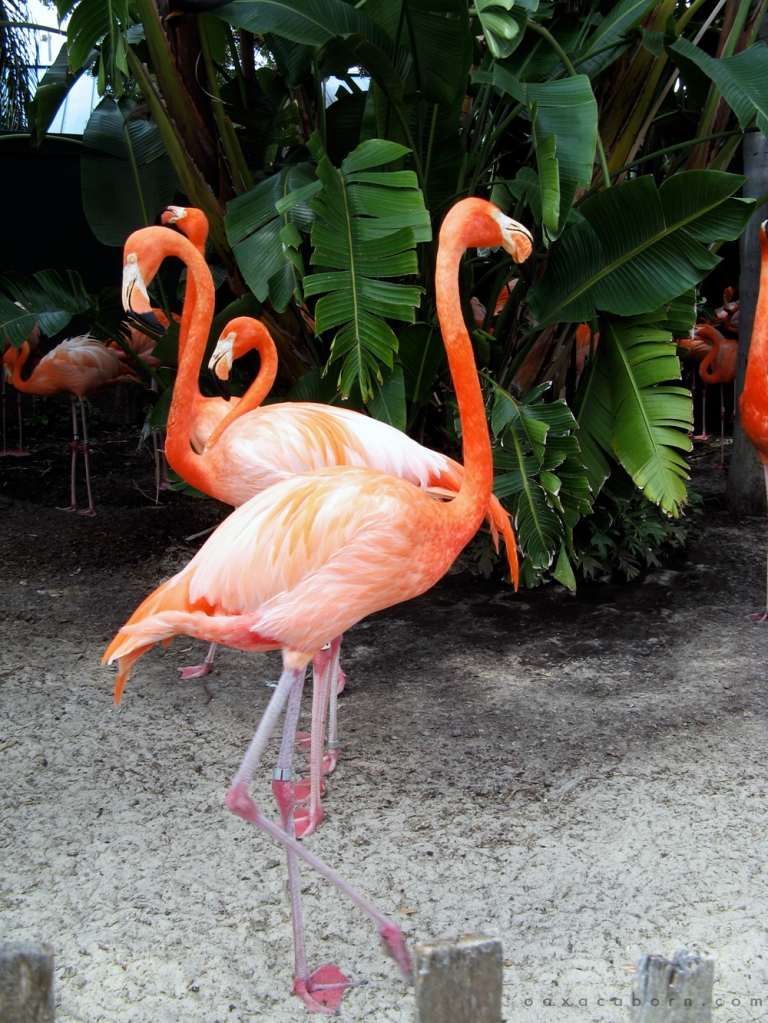Flamingos in Florida via Oaxacaborn copy
