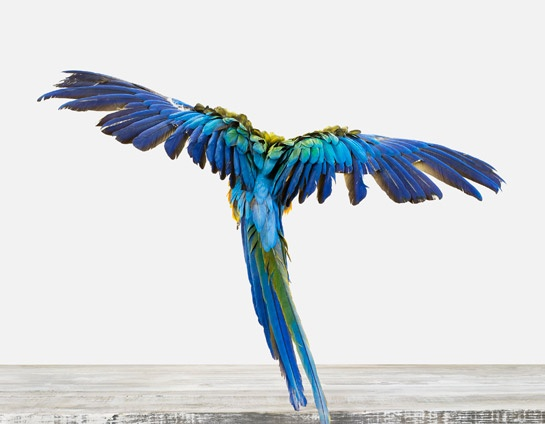 10 Cobalt Blue Patterns for Inspiration on the Oaxacaborn blog - Macaw via Sharon Montrose