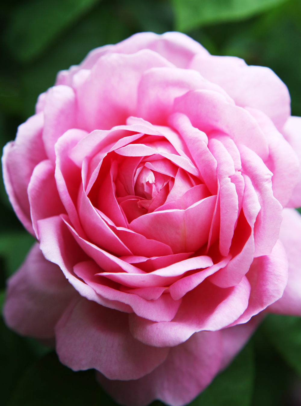My favourite Constance Spry rose - Jane Cumberbatch's Pure Style Online Tips on Blogging