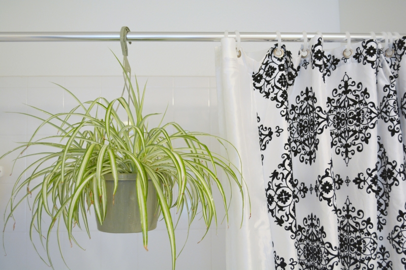 Spider Plant in bathroom shower_Web